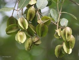 ayurvedic plant - Arjun Terminalia arjuna